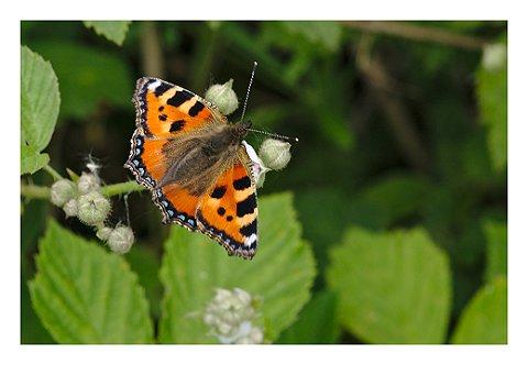 hanshermans_vlinder
